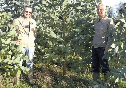 Some varieties of the tree can survive frosts of -16°C and, with their rapid growth rates, appear ideal for growing for energy production