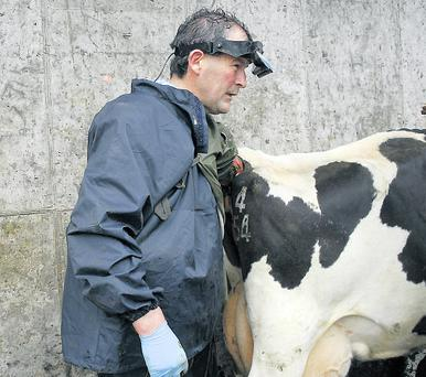 Ultrasonography or scanning is an excellent tool to determine if cows are fit for AI, as shown by Dr Dan Ryan. This technology, operated by a competent individual, will inform you which cows are cycling, their current stage of the heat cycle, and if fertility impairing uterine infections are present