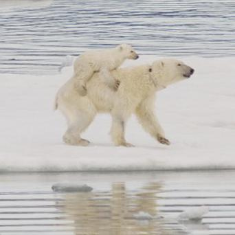 Polar bears have been spotted carrying their cubs on their backs, researchers said