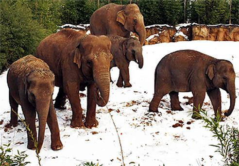 Indian Elephants pictured in the snow at Dublin Zoo yesterday. Photo: Colin O'Riordan
