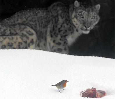 A snow leopard watches a robin edge toward its lunch in the frosty conditions at Dublin Zoo yesterday
