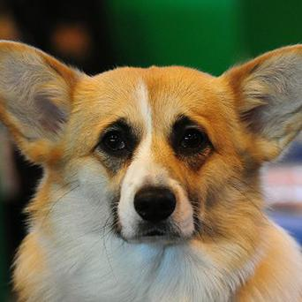 Two Welsh Corgis stolen from a California motel are still missing