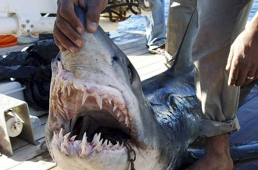 The shark which was identified as attacking four tourists in the resort of Sharm el-Sheikh. Photo: Reuters/STRINGER/EGYPT
