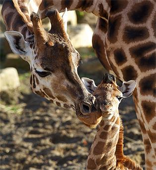 The new giraffe calf at Dublin Zoo, pictured with her mother Maeve. Photo: Courtesy of Dublin Zoo