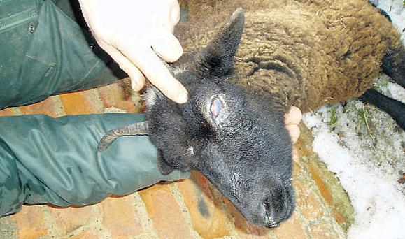 Pink-eye is an infection of the eyelids and eyeball that spreads from animal to animal quite rapidly