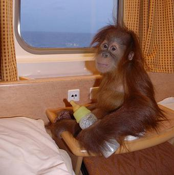 Silvestre, an 11-month-old Sumatran orang-utan, traveling by ferry from Spain to his new home