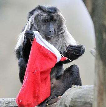 One of Bristol Zoo Garden's macaque monkeys inspects its Christmas stocking