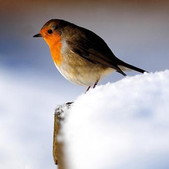 Robins are among species which have taken to altering the time of their morning song so their efforts are not in vain, a study has found.