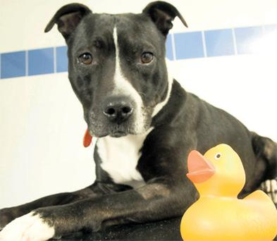 Jasmine, a Staffordshire Bull Terrier, next to a plastic duck similar to one it swallowed and which features in a charity's 'Top of the Ops' countdown list