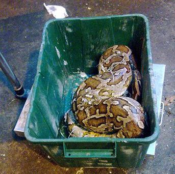 The dead python was found in a bin