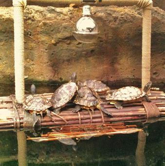 A group of rescued turtles on their floating sunbed