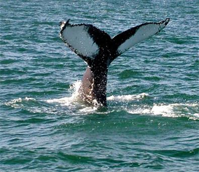 Humpback whale 'Hookie' makes waves off Hook Head, Co Wexford. Photo: Deirdre Slevin