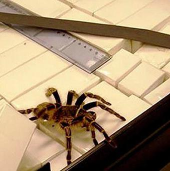 A man has pleaded guilty to smuggling more than 240 tarantulas to the US