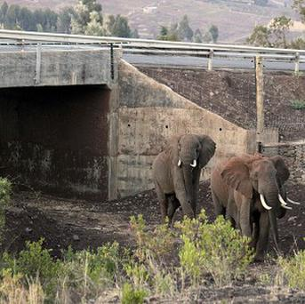 Elephants exit Africa's first dedicated elephant underpass near the slopes of Mount Kenya (AP)