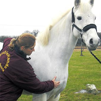 The initial assessment always involves a full body check, even if the owner maintains that the horse only requires treatment in a certain area