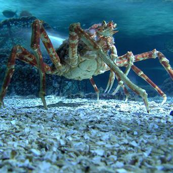 A Japanese spider crab will take centre-stage in a new Blackpool attraction called Claws (Brazen PR/PA)