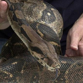 A boa constrictor that slithered away from its owner on a Boston subway carriage a month ago has finally been discovered in an adjoining car