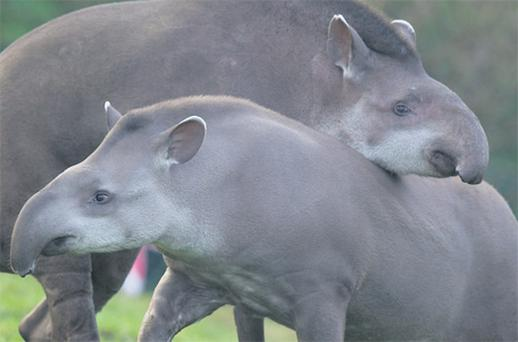 Rio, a two-year-old female tapir from Brazil, is being introduced to the zoo's male counterpart Marmaduke in the hope that they will hit it off and breed