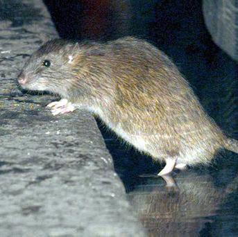 A plane flight was delayed when a rat was seen scurrying in the cabin