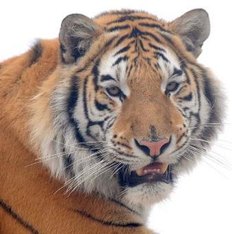 A woman rescued her husband by clubbing a tiger on its head with a large wooden soup ladle