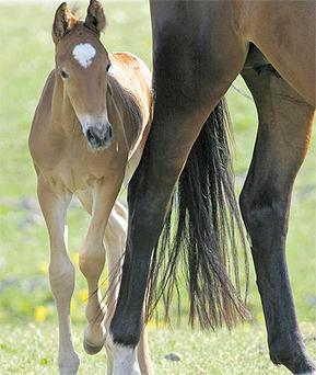 Pay heed to the veterinarian advice on how to ensure the best for mares and newborns