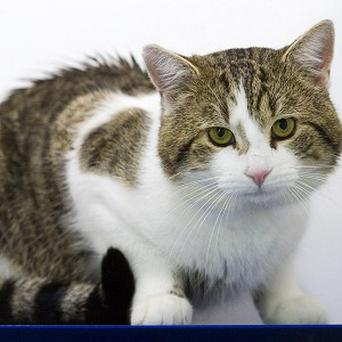 Larry, the new Downing Street cat, relaxing at Battersea Dogs and Cats Home before being taken to the Prime Minister's residence