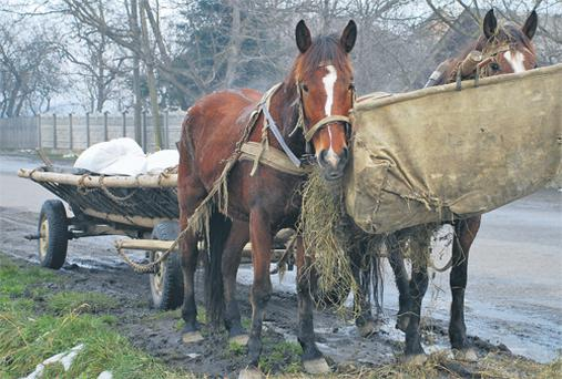 The appearance of equine rhabdomyolosis in draught horses after a weekend earned it the nickname 'Monday morning disease'