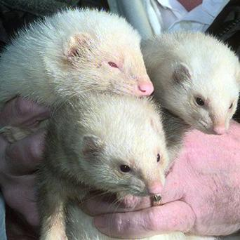 Ferret owners in California are trying to overturn a state ban on the animals