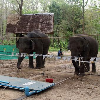 Elephants in Thailand had to work together to obtain food treats