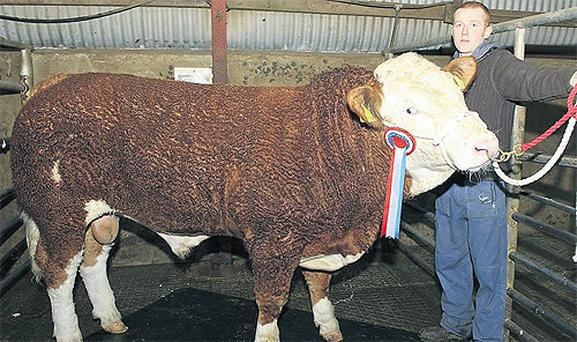 Fergal Doherty, Carrigart, Co Donegal, shows off the Champion Simmental at the Letterkenny Show Society's bull show and sale at Raphoe Livestock Mart
