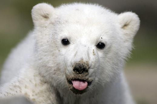 Berlin Zoo's polar bear Knut, pictured here as a cub. Photo: Reuters/ANDREAS RENTZ