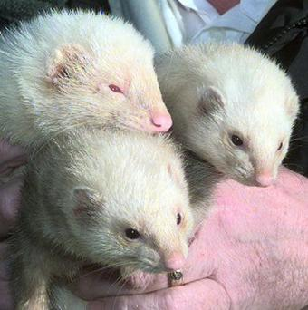 A charity is caring for a ferret which was found on a train station platform