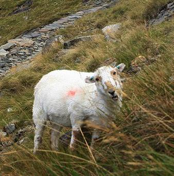 Police are appealing for witnesses after 350 sheep were stolen