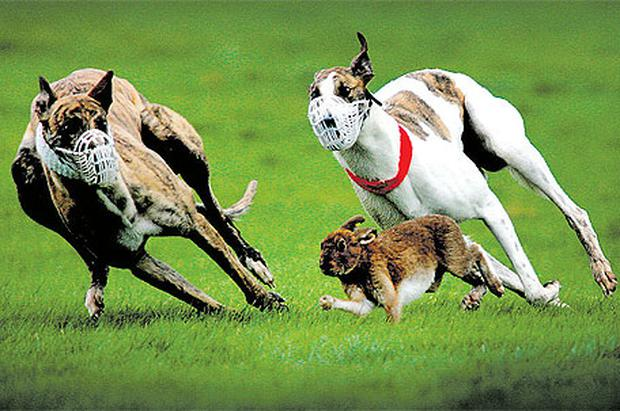 A coursing meeting in Clonmel, Co Tipperary