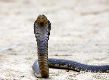 ABU RAWWASH, EGYPT- MARCH 25: An Egyptian cobra rears it's head at Nasr Tolba's home 20km away from Cairo, on March 25, 2006 in Abu Rawwash, Egypt. Nasr Tolba is an Egyptian who belongs Tolba family, known in Egypt for many generations for living with rearing the snakes. Tolba who grows more than 300 snakes in his home lives by extracting their poison and selling it to many medical companies in countries like Australia and the United States as well as to the Egyptian ministry of health.