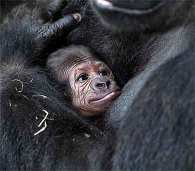 Dublin Zoo's latest arrival, a baby western lowland gorilla. Photo: Conor Healy
