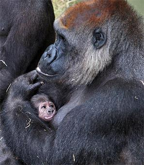 Dublin Zoo's new baby gorilla with its mum Lena. Photo: Conor Healy