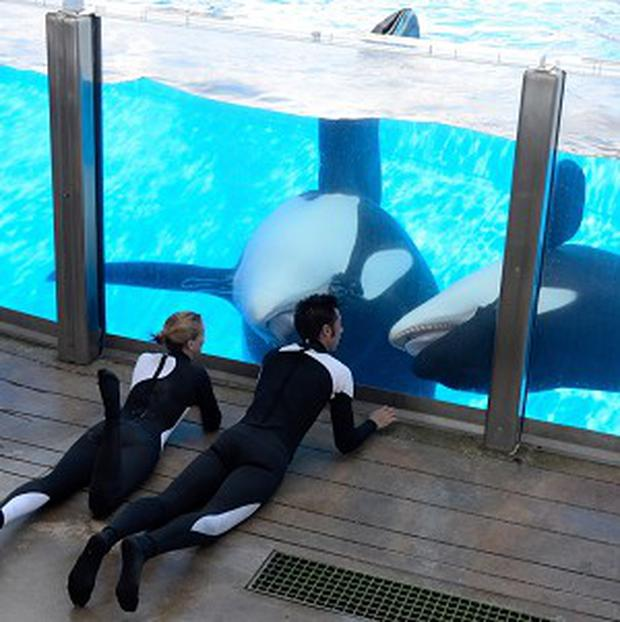 SeaWorld staff work with killer whales Tilikum and Trua