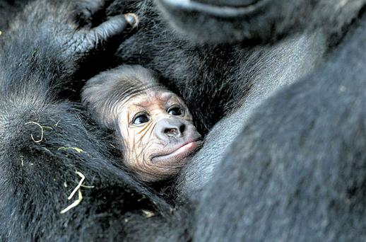 Proud mum Lena holds her new arrival after giving birth at Dublin Zoo. CONOR HEALY PHOTOGRAPHY