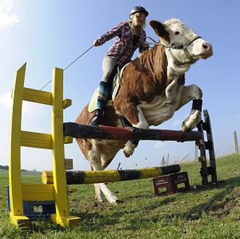 Regina Mayer jumps with her cow Luna over a hurdle in Laufen, southern Germany (AP)