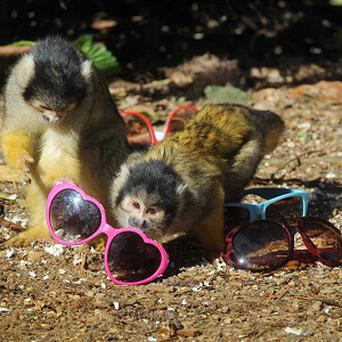 Bolivian squirrel monkeys have been swiping sunglasses at London Zoo