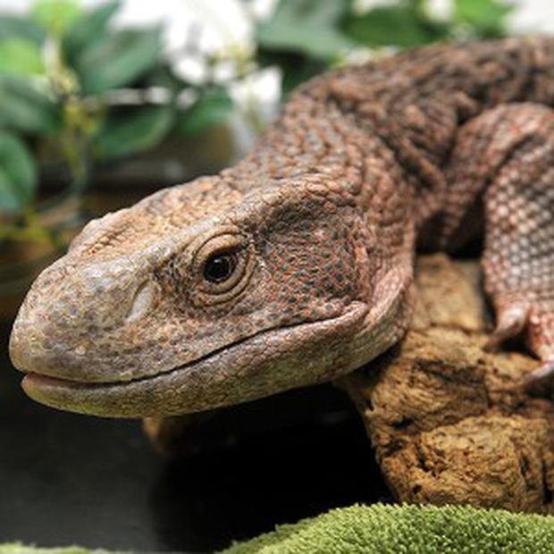 A total of 1,800 monitor lizards were seized while apparently being smuggled on lorries in Thailand