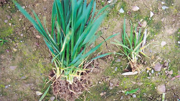 Manganese deficiency is one of the most encountered trace element deficiencies in both winter and spring cereal crops