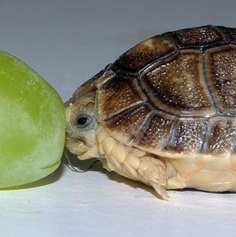 This tiny month-old Egyptian tortoise, pictured next to a grape, was part of a litter born to a group of tortoises seized by customs (PA/ZSL Whipsnade Zoo)