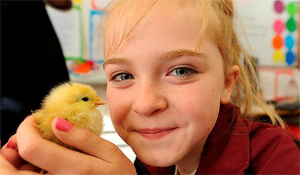 Ten-year-old Andrea O'Callaghan holds one of Moyderwell Primary School's newest arrivals