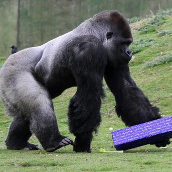 Ambam, a Western Lowland Gorilla, investigates a present as he celebrates his 21st birthday at Port Lympne Wild Animal Park