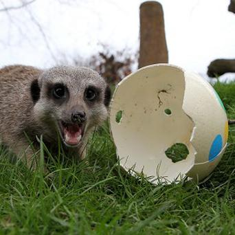 A meerkat at Blair Drummond Safari Park gets an early Easter treat