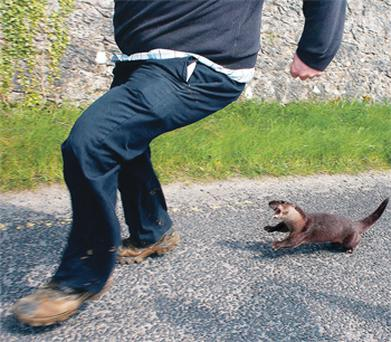 The otter chases a local in the Clare village of Tulla