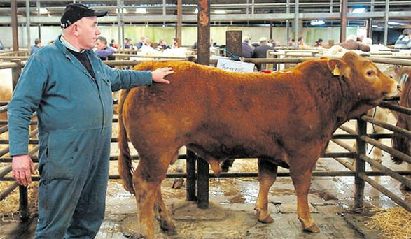 Tommie O'Brien tends to his Limousin bull at the Mayo/Sligo Mart's pedigree show and sale in Ballina, Co Mayo. The bull fetched €2,200 and was bought by John Kearns