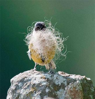 The bird finds a wisp of sheep's wool before flying back to its nest